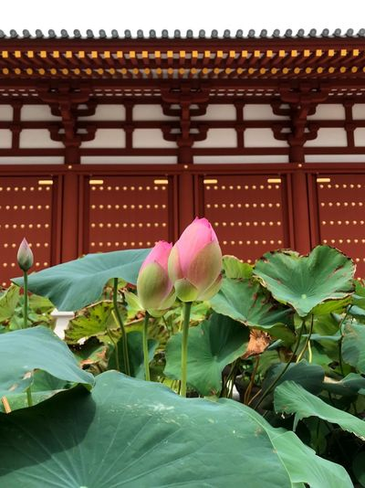 Yakushiji TempleNara,Japan Temple Architecture Plant Built Structure Nature No People Building Leaf Flower Lotus Water Lily