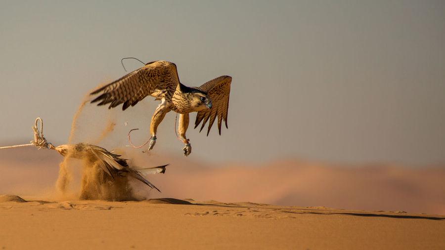 Arabic Falcon