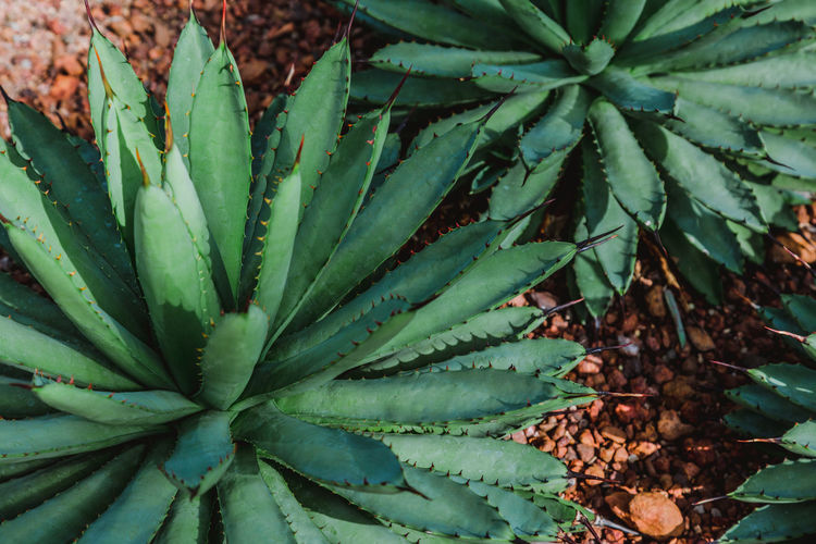 Business Growth Plant Plant Part Leaf Green Color No People Beauty In Nature Close-up Nature Day Succulent Plant Freshness High Angle View Field Outdoors Cactus Land Food And Drink Natural Pattern Full Frame Desert Desert Plants Rock - Object