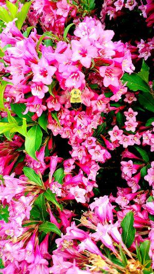 Springtime Eyeem Nature Nature Eyeem Trending Bumble Bee Collecting Pollen Eyeem Marketplace EyeEm Best Shots Popular The 2016 EyeEm Awards