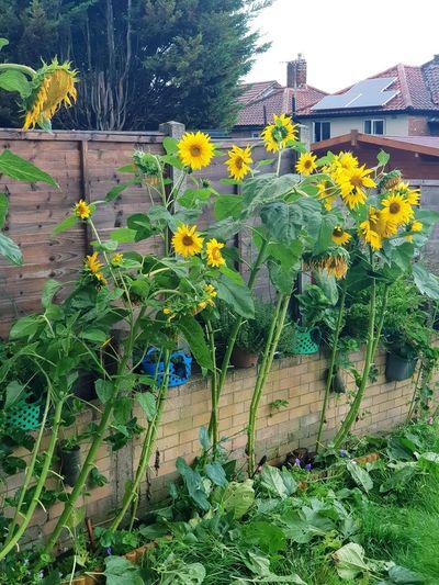 fading summer Sunflowers🌻 Sun Flowers Flower Garden Flower Flower Head Plant Sky