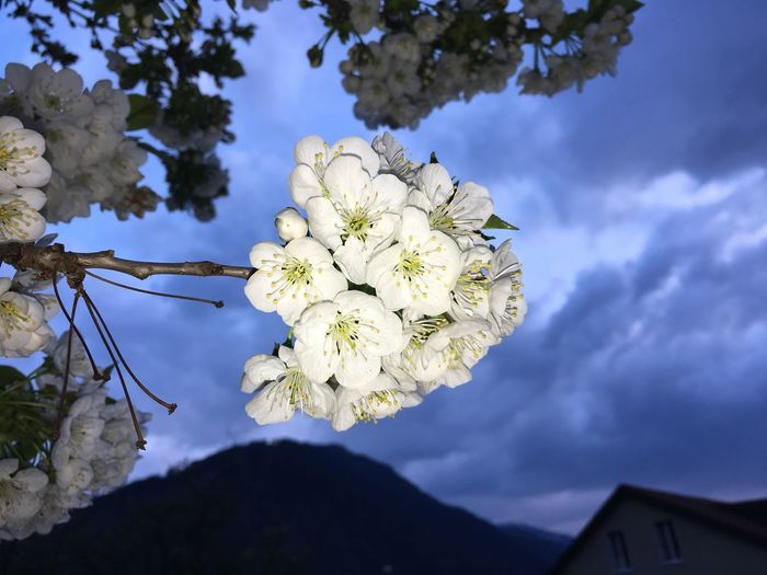 Kirschblüten  Cherry Blossoms Cherry Tree Cherry Cherryblossom Cherryblossoms Clouds And Sky Cloud Mountain Brambrüech Evening White Color Flower Nature Growth Frühling Springtime Spring Spring Flowers Tree