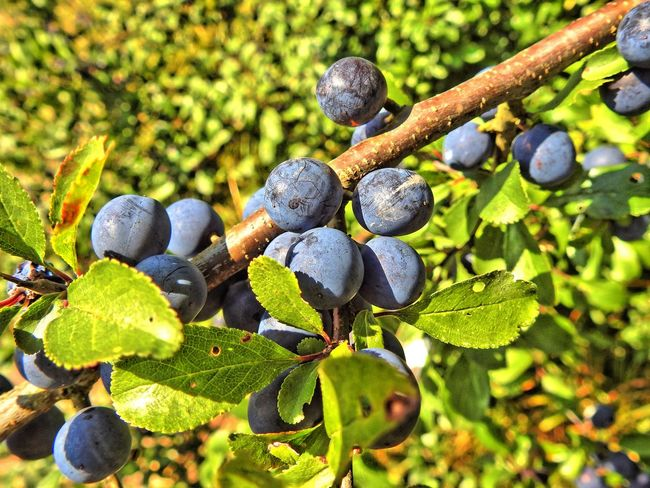 Beauty In Nature Berry Blackthorn Blossom Blueberry Botany Branch Close-up Focus On Foreground Food And Drink Freshness Fruit Green Green Color Growth Leaf Nature No People Outdoors Plant Plant Life Scenics Springtime Tranquility Vineyard