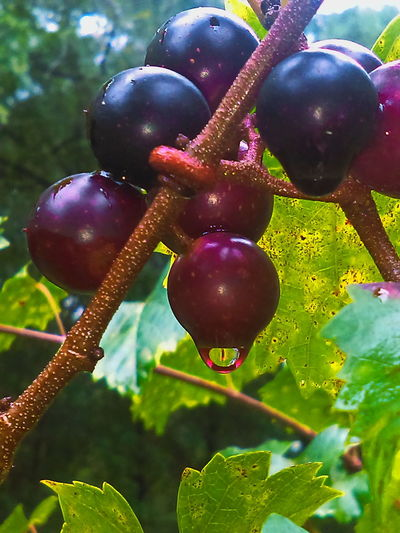 Scuppernong Grape Beauty In Nature Close-up Focus On Foreground Food And Drink Freshness Fruit Growth Muscadine Nature No People Outdoors Plant