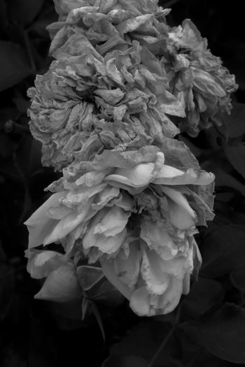 Flowerscape - Beauty Towards the End Colorado City Views Horticultural Art Society Garden Monument Valley Park B&w Beauty In Nature Black And White Close-up Colorado Springs Day Demonstration Garden Fall 2017 Flower Flower Head Forst Fragility Freshness Growth Nature No People Outdoors Petal Rosé