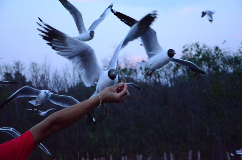 Cropped image of hand feeding black-headed gulls