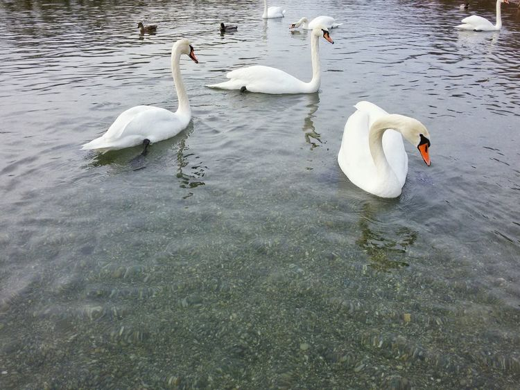 Group of Swans Bird Water Birds Birds Wildlife Lakeside Flock Of BirdsAnimal Themes Floating On Water Graceful Swans Reflections Beak Neck Fresh On Eyeem  Lake White Beauty In Nature Feathers Close-up Outdoor Swimming Close-up Wildlife No People