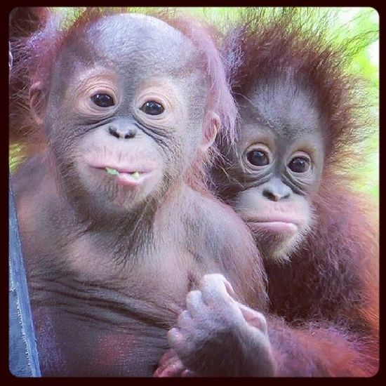 Orangutang babies More Monkybuisness Bad Hairday