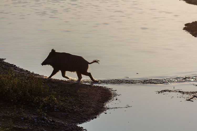 Animal Themes Day Domestic Animals Full Length Lake Mammal Nature No People One Animal Outdoors Water Wild Boar