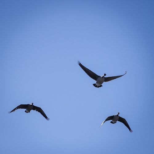Canadian Geese migrating north Canada Goose Canada Bird Watching Birds_collection Birds Of EyeEm  Bird Photography Gooses Goose Vertebrate Sky Animal Mid-air Bird Clear Sky Blue No People Nature Day Motion Beauty In Nature