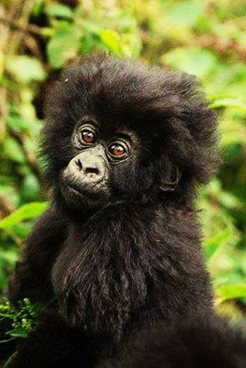Uganda The Pearl of Africa Animal Themes One Animal Focus On Foreground Close-up Wildlife Animals In The Wild Black Color Mammal Animal Hair Animal Head  Looking At Camera Looking Zoology Snout