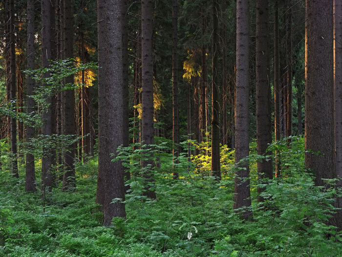 Dence spruce forest in the vysocina region in the czech republic