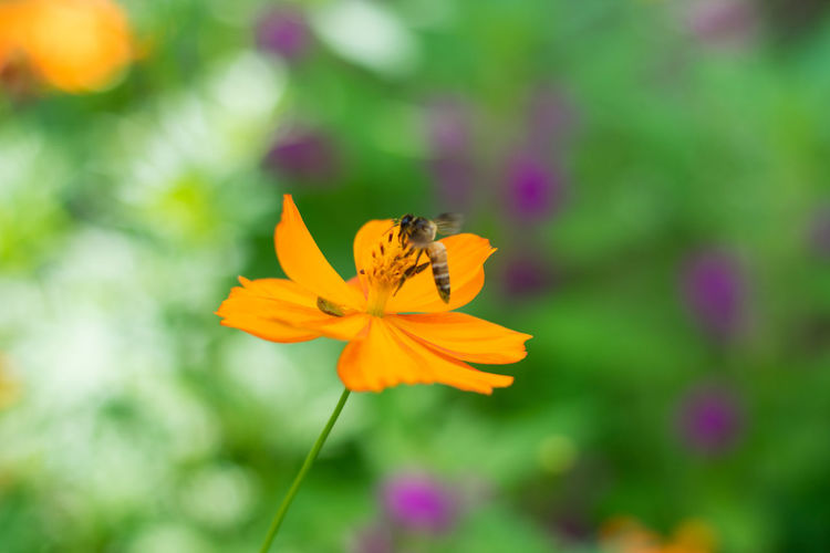 Cosmos And Bee. Cosmos Flower Cosmos Bee Flower Freshness Beauty In Nature Animal Wildlife One Animal Animal Themes Animals In The Wild Animal Pollen Petal