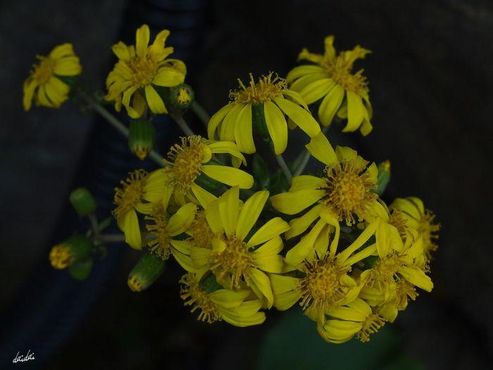 この花はホントに不思議な咲き方だよなー E-PL3 Flower Yellow No Edit/no Filter
