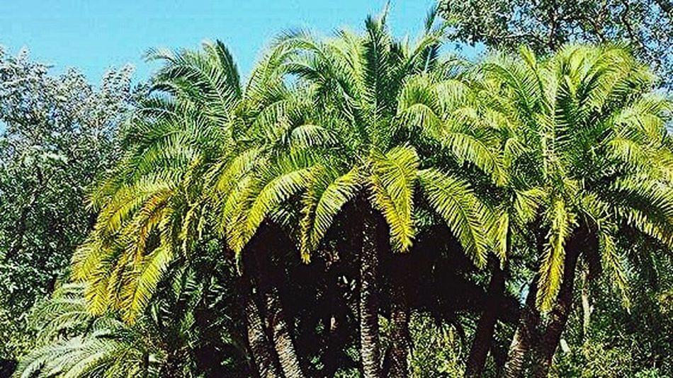 Palm Trees Beautiful Day Palm🌴 Palmbeach Palmiers 🌴👣