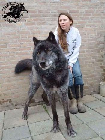 Wolf Wolfdog Kurt Bozkurt Ccc