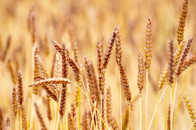 Winter Wheat Field Lwl Open Air Museum Agriculture History Wheat Field Wheat Ripe Cereal Plant Cereal Field Growth Plant Close-up Nature Crop  Field Beauty In Nature Day No People Rural Scene Selective Focus Focus On Foreground Land Farm Outdoors Oat - Crop Backgrounds Landscape Full Frame