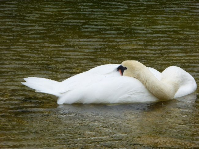 Nature Photography Swans Altaussee