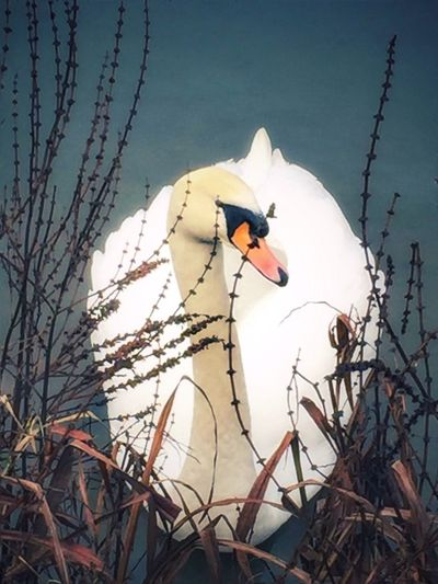 Swan amongst Loosestrife Low Angle View Swan Close-up Swans Loosestrife Winter Swans Water Lake Lakes  Outdoors No People Sunlight Branch Nature Animals In The Wild Day Tree Bird Animal Themes Sky Clear Sky One Animal Beauty In Nature Perching