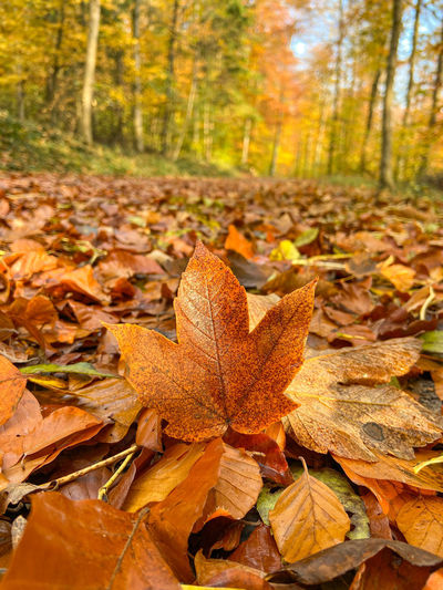 Close-up of maple leaves on fallen tree