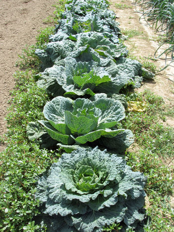 Array of cabbages in the garden . Tuscany, Italy Agriculture Array Cabbage Cultivated Field Flavorful Food Food Staple Garden Green Herb Homegrown Produce In A Row Ingredient Leaf Mediterranean Cuisine Organic Plant Scented Sour Cabbage Tuscany Vegan Food Vegetable Vegetarian Food Vitamin