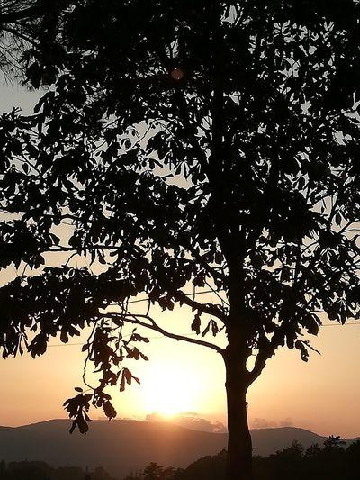 Siena Tree Tree