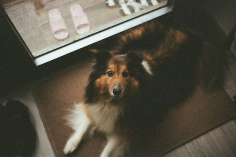 Film Animal Themes Close-up Day Dog Domestic Animals Film Photography Film\ Filmisnotdead High Angle View Home Interior Indoors  Looking At Camera Mammal No People One Animal Pets Sheepdog Sheltie