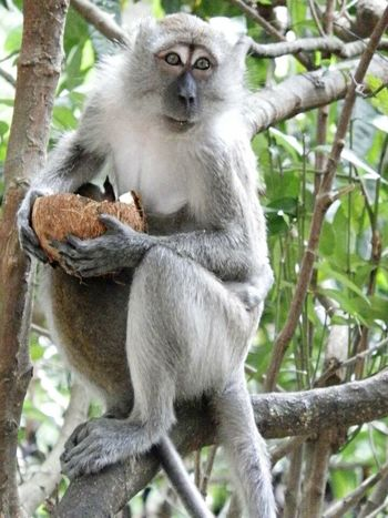 monkey's pose Monkey Coconut Climbing Eat Eat And Eat Animal Photography Looking At Camera Sitting In The City Beautiful Day Nature's Diversities Mammal Batu Caves Close Up Shot EyeEm Nature Lover Faces Of EyeEm Moments Monkey Face Daytime Happy Time Up Close