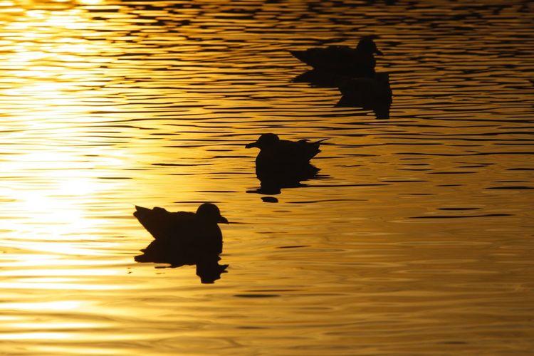 Sunset Gulls Silhouette