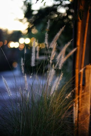 Grass Grass Flowers Sun Set Bokeh Bokeh Photography Bokeh Lights No People No Person Day Water Tree Window Close-up Blade Of Grass Grass Area