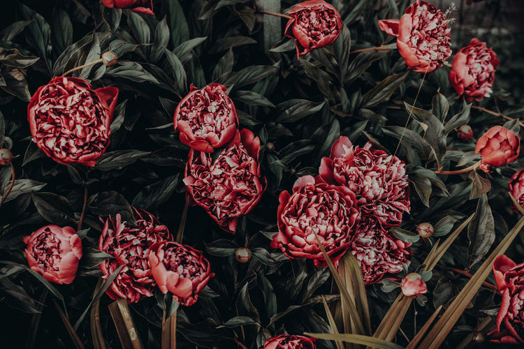 Red Freshness Flower Flowering Plant Beauty In Nature Vulnerability  Plant Close-up Fragility No People Growth Petal Nature Fruit Food And Drink Flower Head Food Full Frame Outdoors Inflorescence Flower Arrangement Bouquet Bunch Of Flowers