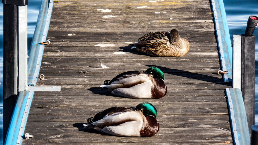 Animal Vertebrate Group Of Animals Animal Themes Bird Duck Poultry No People Day Animal Wildlife Animals In The Wild Wood - Material Nature Mallard Duck High Angle View Pets Domestic Mammal Relaxation Domestic Animals