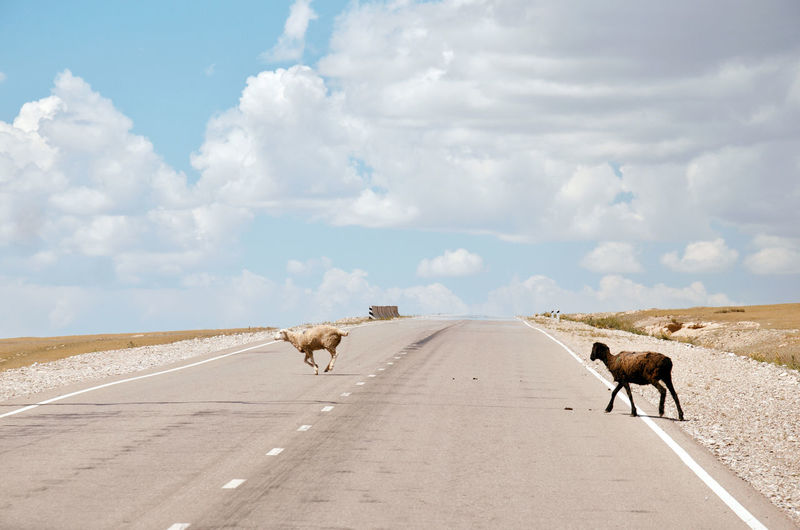 Goats crossing the highway