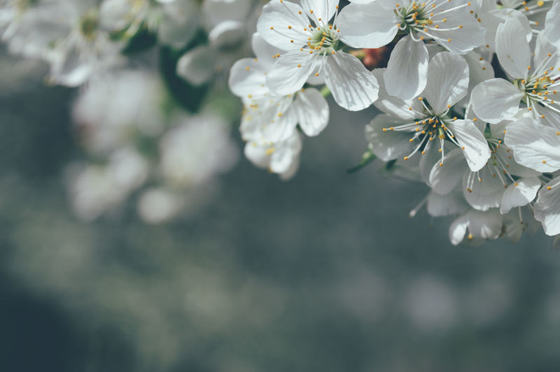 Green Color Beauty In Nature Blossom Cherry Blossom Cherry Tree Close-up Day Flower Flower Head Flowering Plant Focus On Foreground Fragility Freshness Growth Inflorescence Nature No People Outdoors Petal Plant Pollen Springtime Tree Vulnerability  White Color