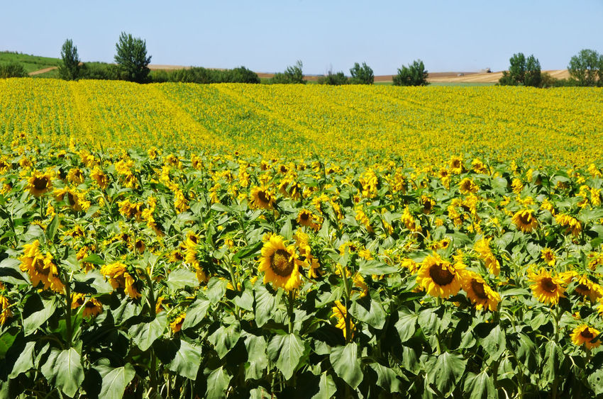 Sunflowers Alentejo, Portugal Blooming Sunflowers Agriculture Beauty In Nature Field Field Of Flowers Flower Flower Head Growth Landscape Nature Plant Rural Scene Scenics - Nature Sunflower Yellow