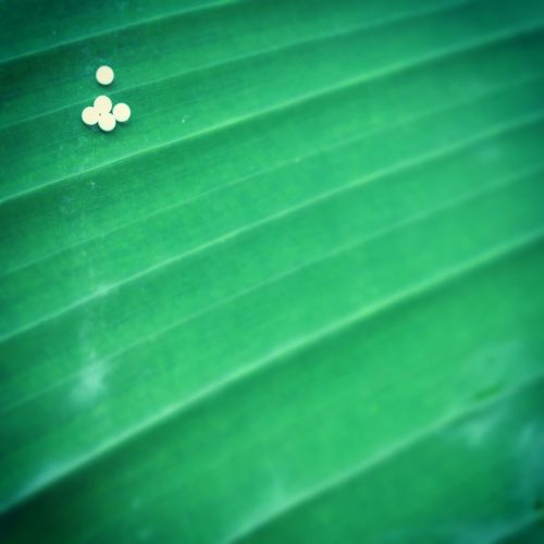 Butterfly eggs on a leaf Close-up Green Color Nature Beauty In Nature Selective Focus Butterfly Eggs Fresh On Eyeem