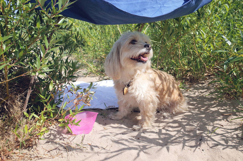 Close-Up Of Maltipoo Sitting On Sand By Plants