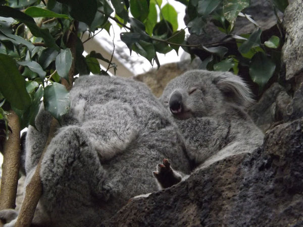 Animal Themes Animals In The Wild Baby Animal Cuddly Cute Day Dreaming Edinburgh Zoo Furry Joey Koala Koala Baby Leaf Mammal Mother Mother Care Nature No People Outdoors Sleeping Tree