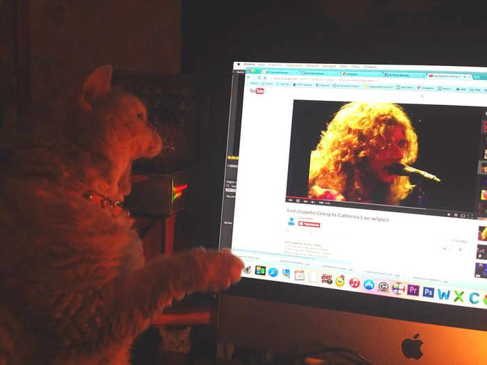 Ledzeppelin Robertplant Cat
