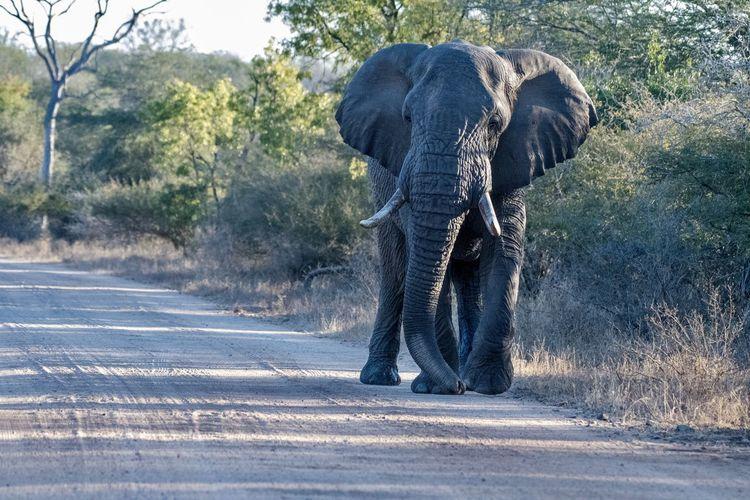 Rear view of elephant walking on road