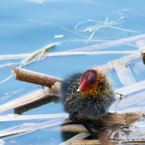Close-Up Of Young Coot Swimming In Lake