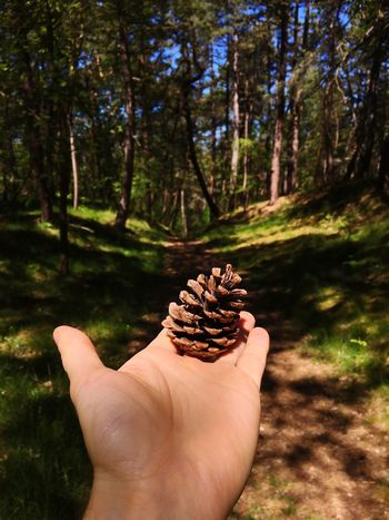 Holding a pine cone in a forest Human Hand One Person Real People Human Body Part Personal Perspective Human Finger Holding Focus On Foreground Outdoors Tree Sunlight Nature Day Forest Close-up Beauty In Nature People Cone Pine Live For The Story