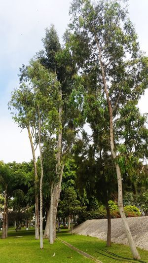 Tree Growth Palm Tree Nature Green Color Day Outdoors Grass Beauty In Nature Sky No People EyeEmNewHere