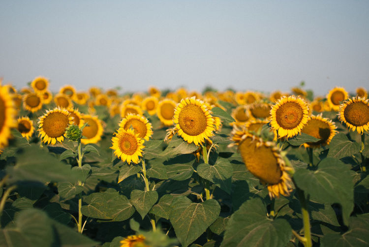 Close-up of yellow flowering plants on field against sky