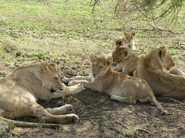They are resting after finished to hunting;Lions,by Aman Amasi Food And Drink Food Seafood Water Working Horticulture Animals In The Wild Animal Themes Mammal Relaxation Young Animal Day Field No People Outdoors Lioness Animal Wildlife Nature Lion Cub