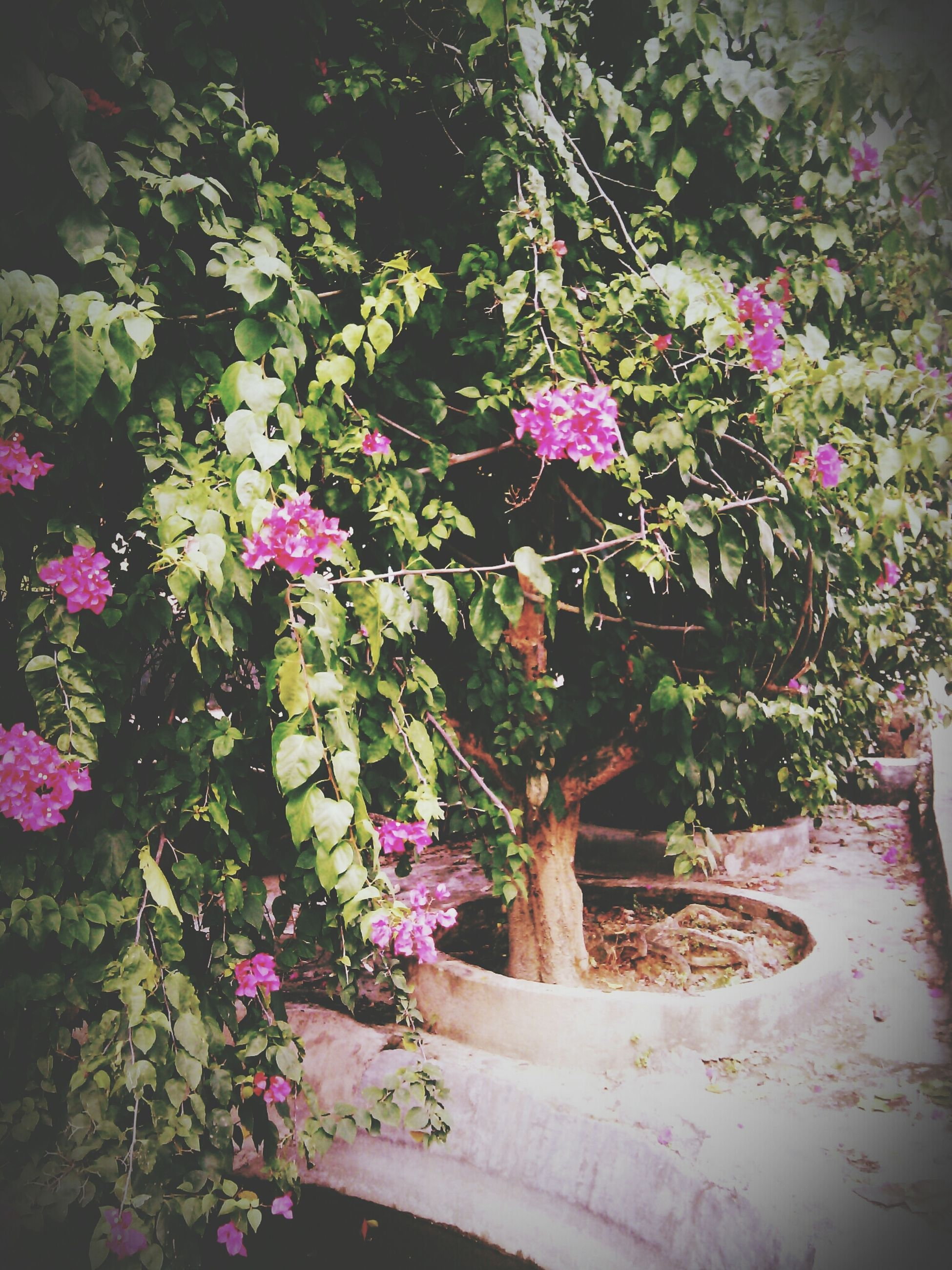 flower, growth, freshness, plant, fragility, pink color, beauty in nature, nature, petal, blooming, leaf, in bloom, blossom, purple, no people, tree, outdoors, day, potted plant, branch