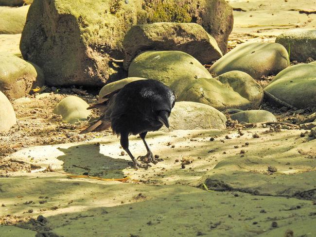 Abraxas Animal Animal Themes Animal Wildlife Animals In The Wild Black Bird Black Color Crow Day Domestic Animals Land Mammal Nature No People One Animal Pets Raven - Bird Rock Rock - Object Solid Sunlight Vertebrate Zoology