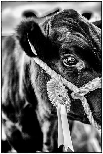 Agricultural show in Swinford, Ireland. August 2017 Livestock Ireland Agriculture One Animal Domestic Animals Animal Themes Mammal Pets Looking At Camera Portrait Close-up