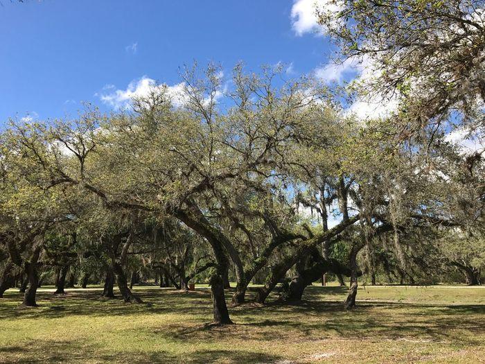 Oak Trees Trees