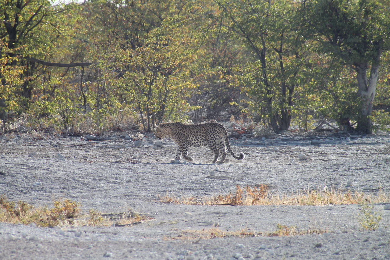 animals in the wild, animal wildlife, one animal, tree, animal, nature, animal themes, day, outdoors, mammal, forest, no people, full length, safari animals, arid climate, beauty in nature, leopard, cheetah